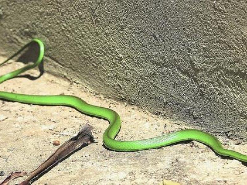 Cobra é capturada após aparecer na entrada de uma residência em Penedo