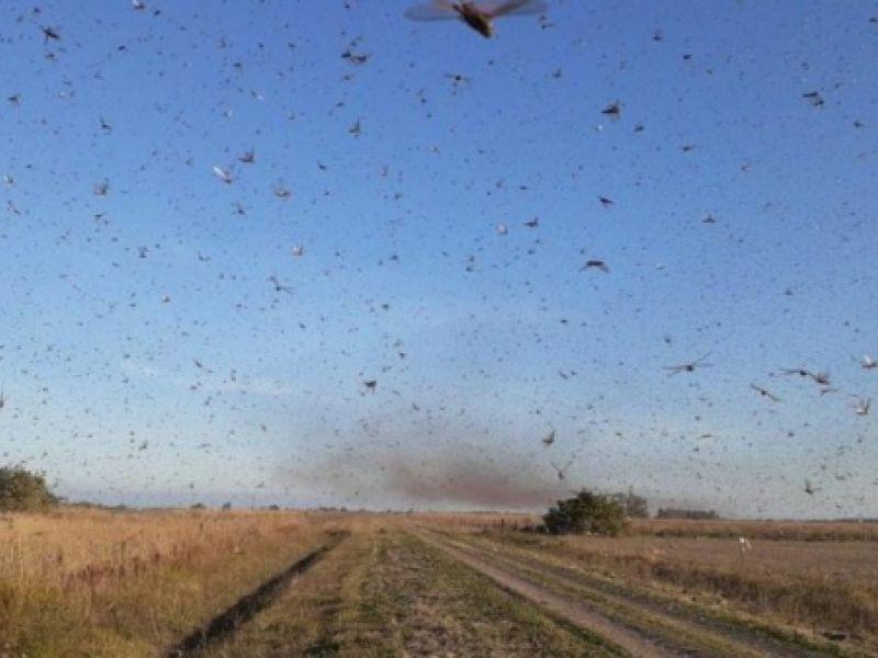 Ministério da Agricultura monitora nuvem de gafanhotos que invadiu a Argentina
