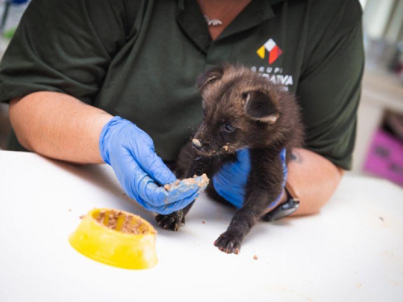ICMBio participa no resgate de filhotes de lobos-guará órfãos com o uso de tecnologia