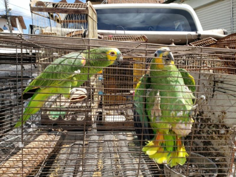 ICMBio e IMA/AL apreendem e soltam 374 pássaros na natureza