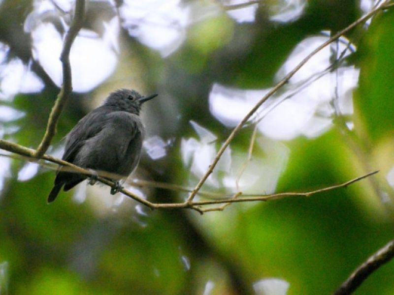 Alagoas abriga um dos pássaros mais ameaçados de extinção do mundo