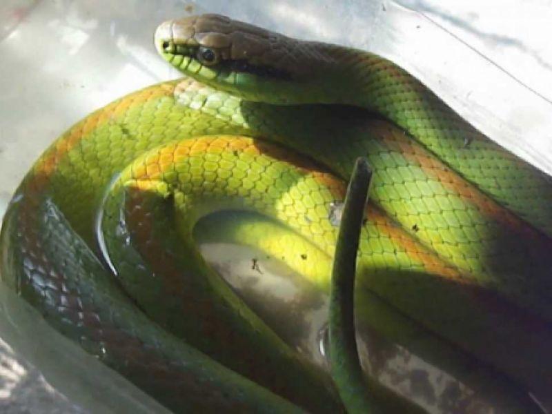 Mais uma cobra é capturada pelos bombeiros dentro de residência em Penedo