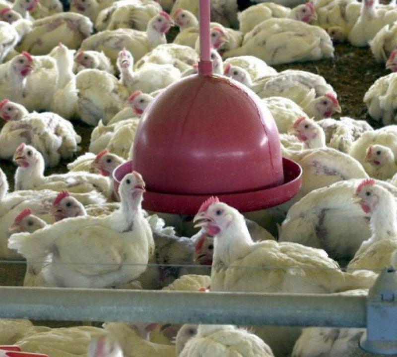 Ministério da Agricultura emite nota sobre caso de coronavírus em ave exportada para China