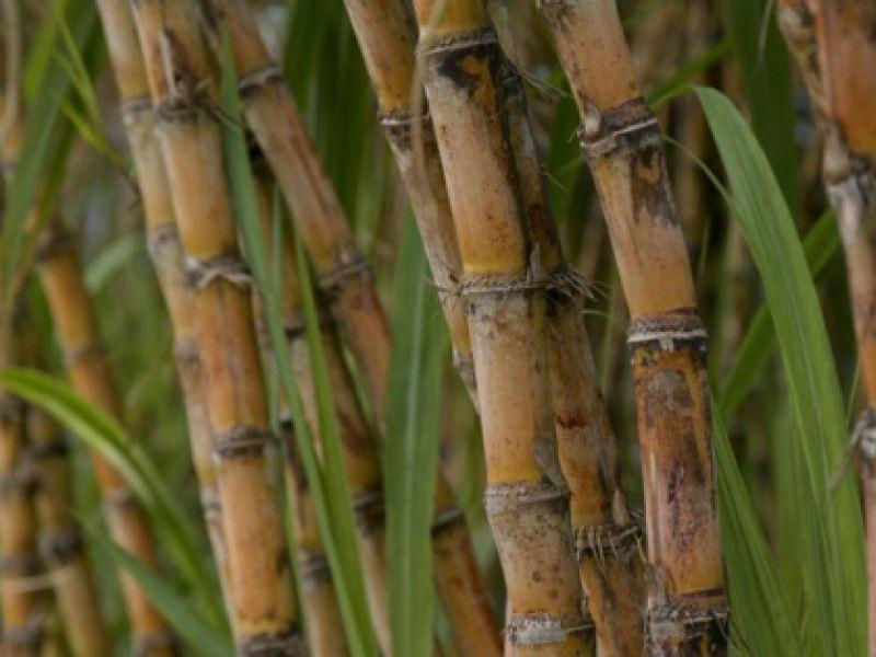 Mecanização na colheita da cana-de-açúcar provoca redução das emissões de gases
