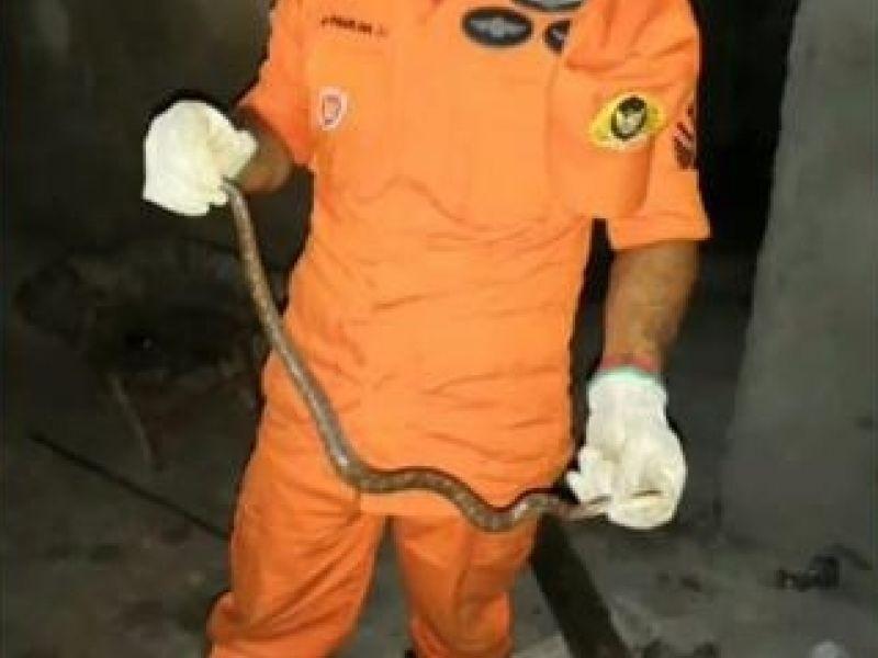 Bombeiros capturam filhote de jiboia que tinha invadido residência em Penedo