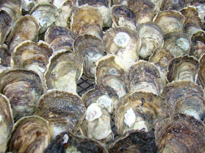 UBM vai beneficiar até 10 mil ostras por dia