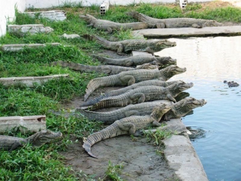 Maceió terá o primeiro abatedouro de jacaré do Nordeste