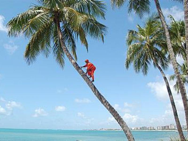 Prefeitura poda coqueiros na orla marítima de Maceió