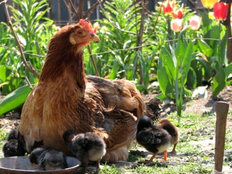 Grupo de pesquisa transforma titica de galinha em fonte de energia