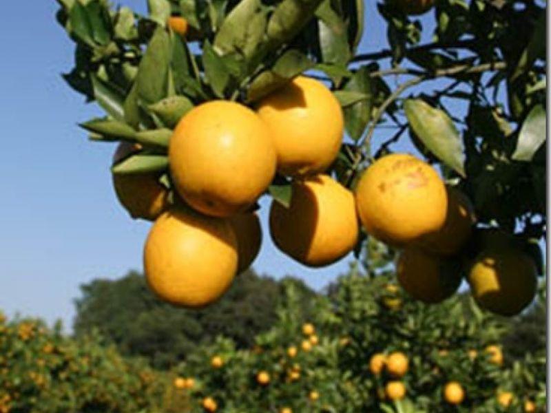 Alagoas aposta na ampliação da produção de laranja lima