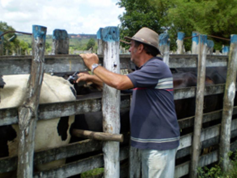 Alagoas vacina animais contra a febre aftosa